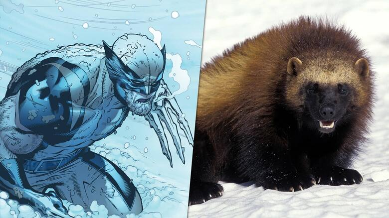 Wolverines in the snow.